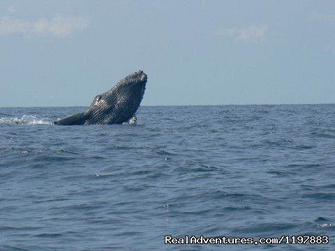 Humpback whales are seen on two migrations annually  - Scuba Diving In Costa Rica With Bill Beard