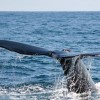 Humpback Whale Tail Photo in Costa Rica
