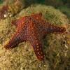 Sea Star Photo Argentine Point Costa Rica