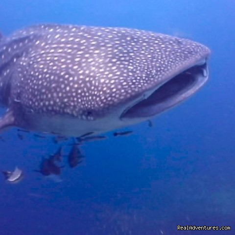 Whale shark in Costa Rica - History Of Scuba Diving & Adventure In Costa Rica