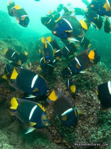 Schooling King Angel Fish - History Of Scuba Diving & Adventure In Costa Rica