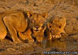 Kenya, Tanzania, Masai Mara Budget Safari Camping Lions in Masai Mara Kenya
