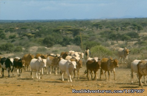 Oromo grass land and cattles - Ethiopian Tour and Sight-Seeing