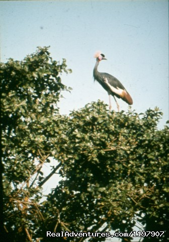 Crowned Crane - Ethiopian Tour and Sight-Seeing