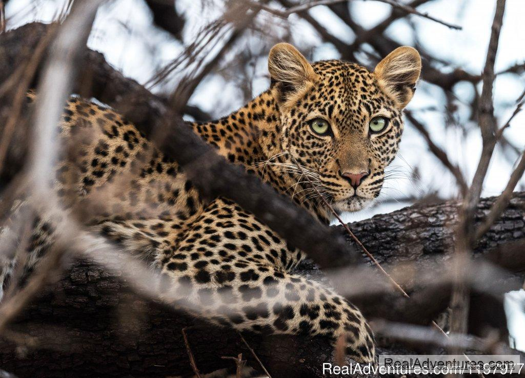 Leopard In Ruaha Np | Image #9/20 | Uhuru Travel & Tours Ltd