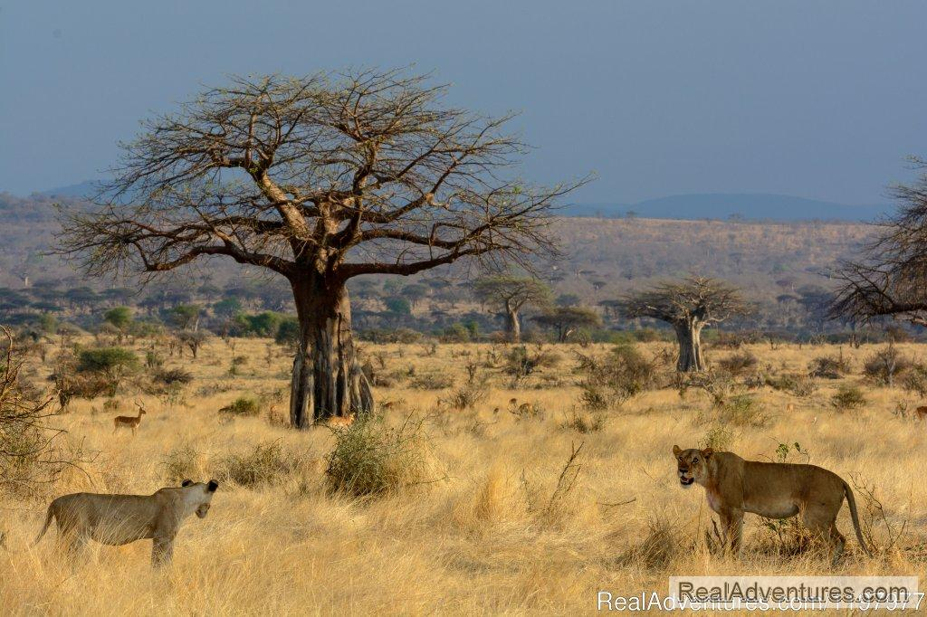 Lions In Ruaha Np | Image #7/20 | Uhuru Travel & Tours Ltd
