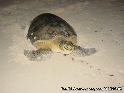 Turtle laying its eggs at Papaya Playa beach - Papaya Playa Jungle & Beach Paradise. Tulum