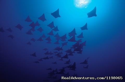 Eagle Rays Tiputa Passe - Pension BOUNTY  Rangiroa Paradise Atoll