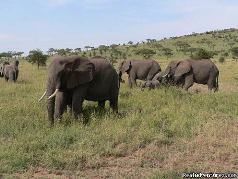 Elephants in Tarangire Park - Tanzania tours, African safaris destination