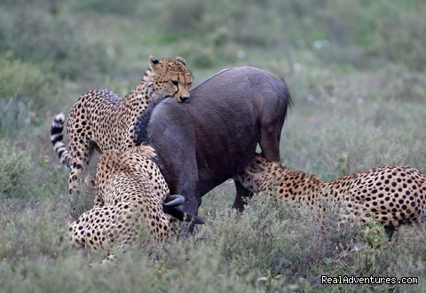 cheetas killing wildebeest in Maasai mara - wildlife/Safaris-Sight-Seeing Tours-Birdwaching