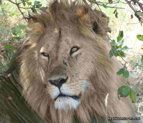 king of the jungle in maasa mara - wildlife/Safaris-Sight-Seeing Tours-Birdwaching