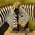 plain zebra courtship - wildlife/Safaris-Sight-Seeing Tours-Birdwaching