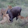 cheetas killing wildebeest in Maasai mara