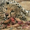 cheetah feasting on prey