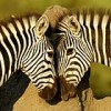 plain zebra courtship