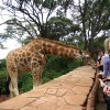 feeding giraffe at the giraffe centre