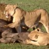 pride of lions feasting on prey