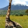 maasai giraffe with mt. kilimanjaro in the background