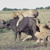 wildlife/Safaris-Sight-Seeing Tours-Birdwaching Wildlife & Safari Tours Kenya