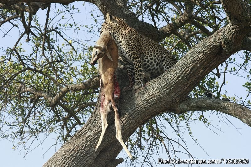 A  Leopard On A Tree With A Kill | Image #2/26 | Welcome to East Africa - Land of  Beauty: