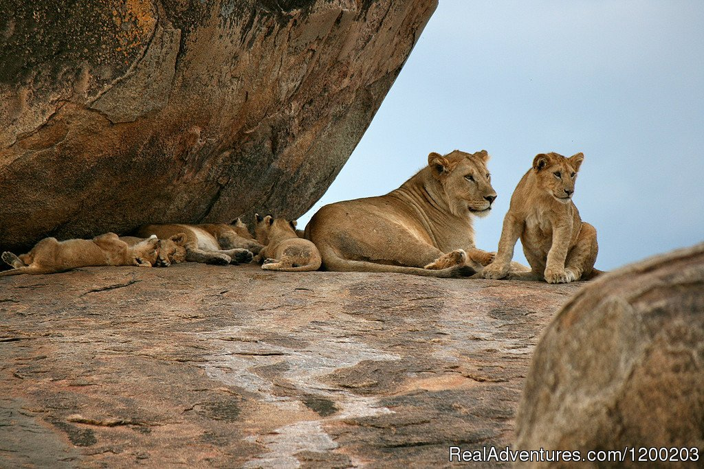 Lions With Cabs In Samburu Reserve Park | Image #18/26 | Welcome to East Africa - Land of  Beauty: