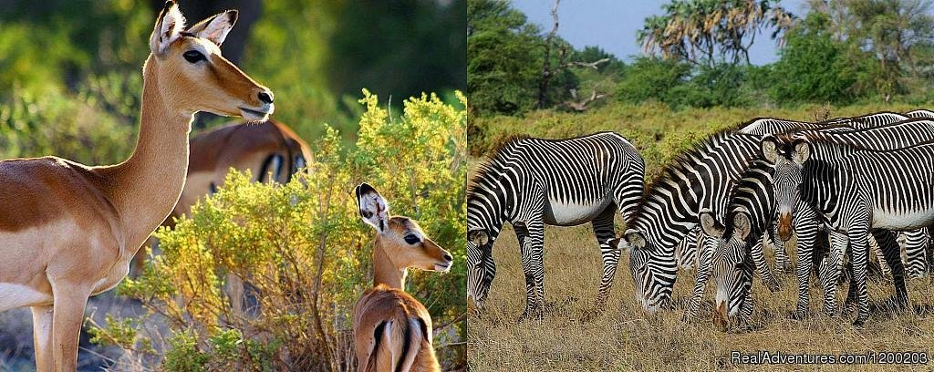 Impalas And Grevy Zebras Found In Samburu Park | Image #19/26 | Welcome to East Africa - Land of  Beauty: