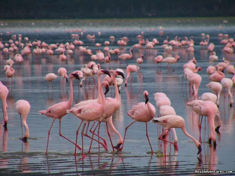 Flamingoes in Lake Nakuru National park | Image #21/26 | Welcome to East Africa - Land of  Beauty: