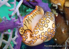 A Flamingo Tongue  - Dive and Snorkel in beautiful Saint Martin