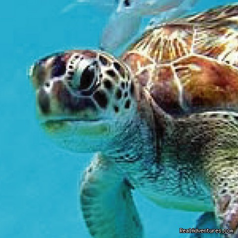 Swim with turtles in Barbados: Barbados Swim with Turtles