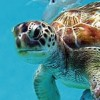 Swim with turtles in Barbados Scuba & Snorkeling Barbados
