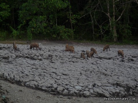 Bearded pigs at the mud volcano