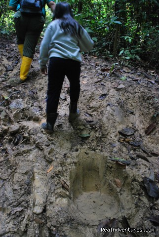 Fresh Elephant Tracks - Tabin Wildlife Reserve Safari