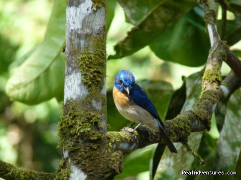 Borneo Blue Fly Catcher - Tabin Wildlife Reserve Safari
