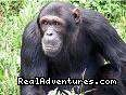 Chimpanzee in its natural habitat - Lets Go Travel  - Great deals on Adventure
