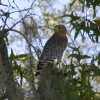 One of our resident hawks