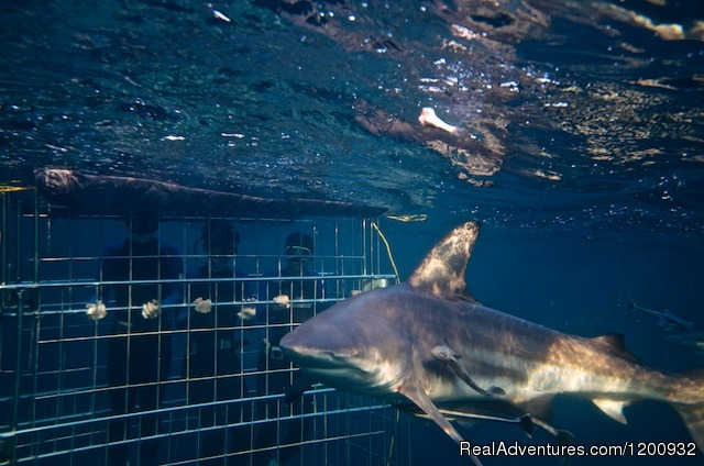 Shark Cage Diving KZN Durban, South Africa Scuba & Snorkeling
