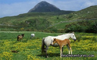 Connemara Ponies - Cornerstones B&B