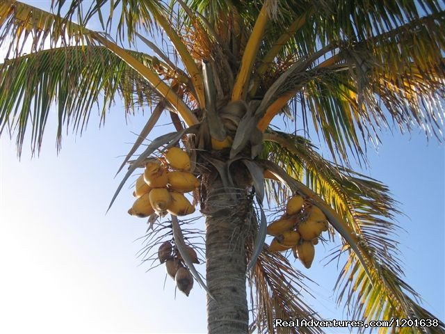 Coconut Tree | Image #5/10 | Greenbank & Cottages