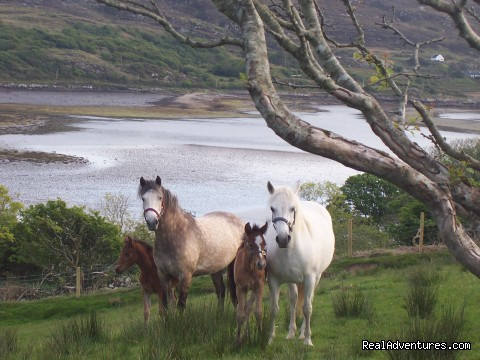 Buttermilk Connemara Ponies  - Buttermilk Lodge, Connemara Home from Home