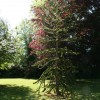 Kathleens Country House Magnicifient Chilean Pine in Garden