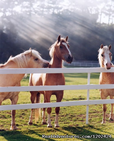 Haflinger Ponies - Five Star Luxury at The Europe Hotel & Resort