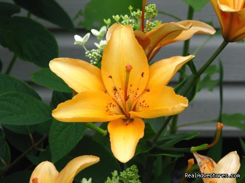 Peach Asiatic Lily - The Bottle Houses/Maisons de Bouteilles