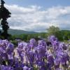May irises in full bloom