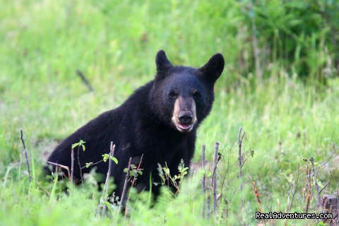 Black Bear - Boulder Junction Chamber of Commerce