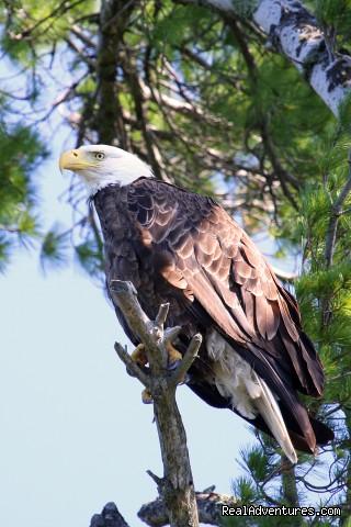 Bald Eagle (#4 of 18) - Boulder Junction Chamber of Commerce