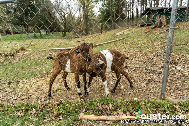 Friendly Goats - Wooded Log Cabins at Birchcliff Resort