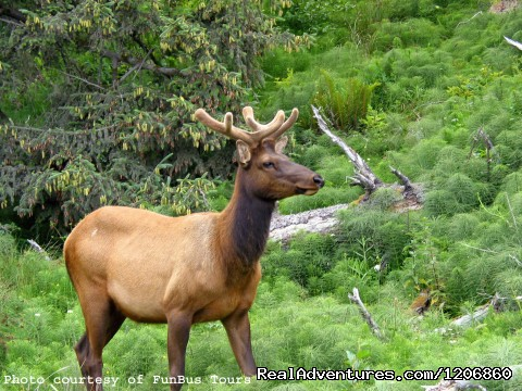 Roosevelt Elk - Redwoods at Kamp Klamath RV Park and Campground