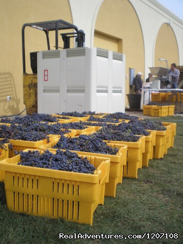 Grapes all Harvested
