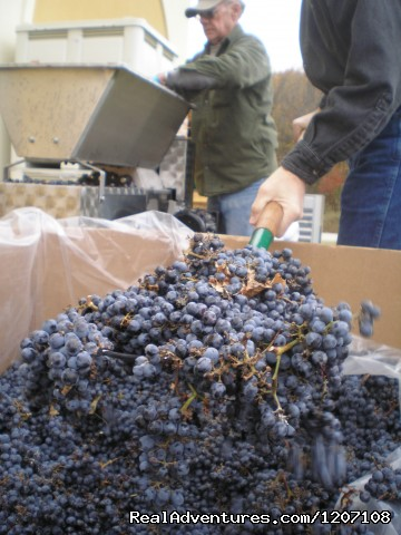 Getting the grapes ready for production