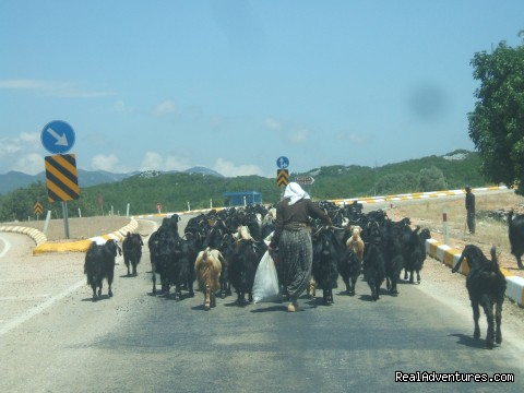 Goats on the road - Hiking in Kayakoy, Turkey: the Spirit of Lycia